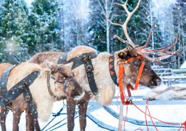 granja de renos Laponia